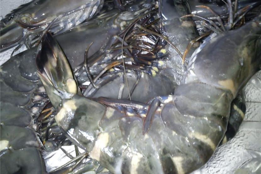 Udang Harimau Dilelong RM35 Sekilo - Semasa | mStar
